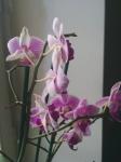 Rode Orchidee.jpg