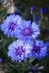Blauwebloem.jpg