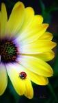GeelboemHeersbeestje.jpg