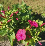 Rode Turke bloemen 24092016.jpg